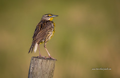 Meadowlark on Post (tclaud2002) Tags: bird wildlife easternmeadowlark perch perched fence post fencepost nature mothernature outdoors closeup dof bokeh saintluciecounty fortpierce florida usa