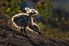 Stretch.... (alicecahill) Tags: ca california usa ©alicecahill sanluisobispocounty bird slocounty chick baby westerngull gull animal
