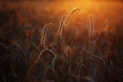 IMG_4767 (geraldtourniaire) Tags: l licht schärfentiefe sonnenuntergang natur nature eos6d ef ef28100lmacroisusm gegenlicht