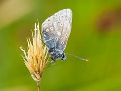 Butterfly (Alf Branch) Tags: butterfly insects insect invertibrate macro macrodreams macrosafari cumbria closeup alfbranch olympus olympusomdem1 omd olympusex25 olympusstf8flash sigma sigma105f28 westcumbria wildlife handheldmacro handheld