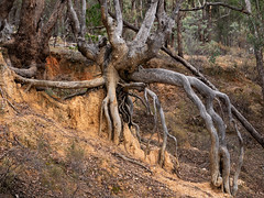 Rootface (grannie annie taggs) Tags: roots trees nature