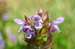Prunella vulgaris (JSB PHOTOGRAPHS) Tags: d2x3993 copy prunella vulgaris nikon d2x 40mm macro flower