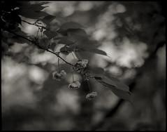 spring scenery #28 (moonchild1111) Tags: kodaktmax100 pentax67 supertakumar105mmf24 6x7 67 monochrome noiretblanc