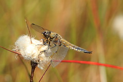 Four spotted chaser (jon lees) Tags: montiaghs moss dragonfly four spotted chaser
