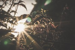 Entangled (tanyalinskey) Tags: plant nature silhouette sunburst entangled smileonsaturday backlight crazytuesday