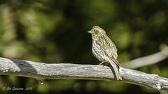 Cassin's Finch (f) (Bob Gunderson) Tags: birds california carpodacuscassinii cassinsfinch finches finchesgrosbeaks northerncalifornia sierracounty sierras yubapass