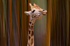 I'll Stick My Neck Out For You (Christina's World : On & Off) Tags: 6868 7599 giraffe macro bamboo icm intentionalcameramovement nature naturepreserve artistic animal wildanimal sandiego safaripark california creative topclass extremephotographicexcellence african animalportrait