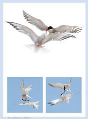 love is in the air! (marianna armata) Tags: lessertern tern bird flight flying angelmariannaarmata nickersonbeach ny