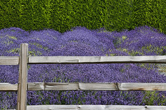 Fence Friday (robinlamb1) Tags: nature landscape fence fencefriday railfence lavender tree cedarhedge trees