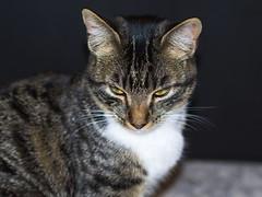 Clara. (Andres Bertens) Tags: 8975 olympusem10markii olympusomdem10markii olympusm45mmf18 olympusmzuikodigital45mmf18 rawtherapee pet cat