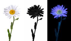 Floral Perception (Don Komarechka) Tags: daisy shastadaisy ultraviolet uv fluorescence reflectance uvivf fluorescent fluorescing glowing comparison black science physics nature floral flower perception lumix lumixstories gx85 spectrum lumixgx85 gardenflower
