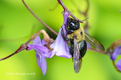 Bee at Flower - May 2019 (maerlyn8) Tags: macro canon 100mm photography nature small bug insect crawly bee fuzzy wings flower pollin buzz 2019 may