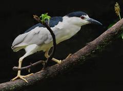Bihoreau (jlp771) Tags: blue night heron water canon powershot sx50hs oiseau bird