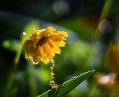 A Quiet Morning (Don White (Burnaby)) Tags: 10mm extensiontube flowersplants macro nikon50mm18d bokeh