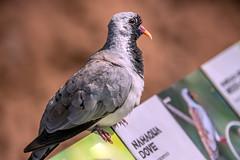 This is ME! (helenehoffman) Tags: aves bird sandiegozoo oenacapensis animal namaquadove dove conservationstatusleastconcern africarocksaviary