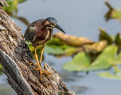 Green Heron (jerryherman1) Tags: nature nikond500 nikor200500f56 heron greenheron bird wildlife maryland
