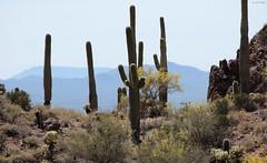 Saguaro and Cholla (zeesstof) Tags: zeesstof vacation arizona tucson desert gatespasstrail cacti saguaro cholla mountain
