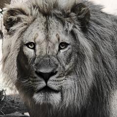 behind the eyes (kallen photography) Tags: idahofalls idahofallszoo tautphuspark lion leo mane eyes animal mammal male summer personality