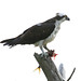 Osprey - Pandion haliaetus, Chincoteague National Wildlife Refuge, Chincoteague, Virginia