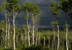 Drama in the Woodland (Sheila Newenham) Tags: aspens gnp clouds