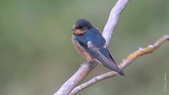 Barn swallow (Hirundo rustica) (Tony Varela Photography) Tags: bars barnswallow canon hirundorustica photographertonyvarela swallow
