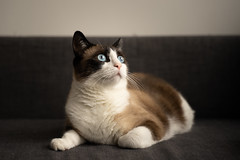 Catto (aurimas.pov) Tags: cat sony blueeyes handsome kitty chillin sofa tamron f28 cutecat tamron2875 catto sonyalphaseries sonya7ii sonyaplhagallery adobe lightroom