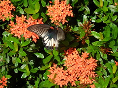 Papilio memnon agenor f. agenor (Linnaeus, 1758) Papilionidae-Papilioninae-great Mormon-ผีเสื้อหางติ่งนางระเวง (SierraSunrise) Tags: animals black butterflies butterfly esarn flowers insects isaan ixora lepidoptera nongkhai papilio phonphisai plants plantsixora red rubiaceae thailand white