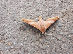Ambulyx moorei (Moore, 1858) Sphingidae-Smerinthinae-Ambulycini-cinnamon gliding hawkmoth-ผีเสื้อจรวดสีน้ำตาลแดงนายมัวร์ (SierraSunrise) Tags: ambulycini ambulyx animals brown esarn insects isaan lepidoptera moth nongkhai phonphisai smerinthinae sphingidae thailand