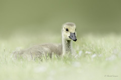 All by myself... Canada Goose Gosling (Chantal Jacques Photography) Tags: gosling canadagoose wildandfree bokeh