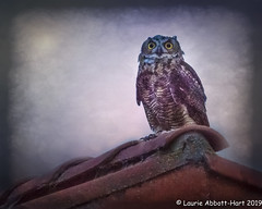 20190705Hello There29618-Edit (Laurie2123) Tags: laurieabbotthartphotography laurieturner laurieturnerphotography laurie2123 nikkor80400mm nikond800 owl