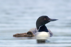 Relaxing (Peter Stahl Photography) Tags: commonloon loon islelake wildlife bird chick