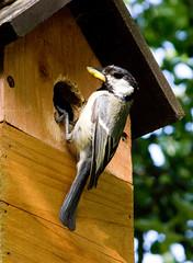 Great Tits nesting in garden (Don McDougall) Tags: donmcdougall don mcdougall watford herts hertfordshire greattit greattits bird birds avian fauna garden birdbox nest nesting nature