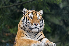 Sayan posing (Tambako the Jaguar) Tags: tiger big wild cat male siberian amur close portrait face posing beautiful lying resting vegetation zürich zoo switzerland nikon d5