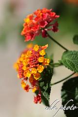 Lantana - Extremely colorful flowers (chk.photo) Tags: landschaft nature naturewatcher outdoor nudibranch landscape natur naturemasterclass light ngc flower blume flickr