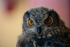 Look (carlo612001) Tags: gufo owl birds uccelli occhi eyes sguardo look
