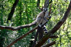 Lemur catta (Hendrik van Zeldenrust) Tags: lemuur animals fauna faune hendrikvanzeldenrust vanzeldenrust zeldenrust dier animal tier bête lemur lemurcatta ringstaartmaki réservezoologiquedecalviacdordognefrance réservezoologiquedecalviac réservezoologique calviac
