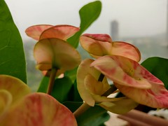 Waiting for sunshine... (Onlyshilpi) Tags: flower pov greysky rainyday pink plant green mobilephotography