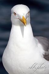 Seagull, Möwe (chk.photo) Tags: nature naturewatcher outdoor animal natur naturemasterclass light ngc möwe seagull tier kroatien croatia bird flickrtravellaward vogel flickr meer