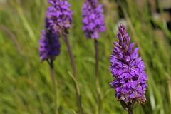 HeathOrchid (Tony Tooth) Tags: orchid flower nikon 40mm nikkor purpleflower d7100 wildflower staffordshire staffs staffordshiremoorlands warslow revidgemoor dactylorhizasp