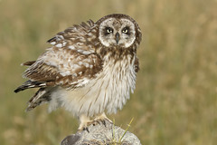 Pueo / Hawaiian Short-eared Owl (Asio flammeus sandwichensis) (SharifUddin59) Tags: pueo asioflammeussandwichensis shortearedowl hawaiian owl hawaiianowl hawaiianendemic endemic endemicowl saddlerd waikoloa waimea hawaiiisland hawaii bird nature animal birdofprey