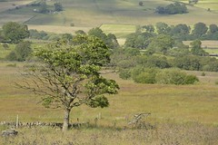 TroubledTree (Tony Tooth) Tags: nikon d7100 nikkor 55300mm tree dyingtree countryside moors moorland farming farmland field reapsmoor staffs staffordshire staffordshiremoorlands england