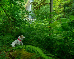 27/52 Nadja at Silver Falls Oregon (utski7) Tags: 52weeksfordogs nadja oregon summer2019 july2019 vacation hike green waterfall trail silvergoldenfallsoregon naturesbeauty nature hikewithdog olddog easytrail