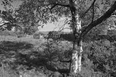 MoorlandBirch (Tony Tooth) Tags: nikon d7100 sigma 1750mm tree silverbirch moors moorland revidgemoor warslow bw blackandwhite monochrome staffs staffordshire staffordshiremoorlands