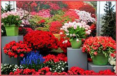 Floralia Brussels dans les serres du parc du Château de Grand-Bigard, Dilbeek, Brabant flamand, Belgium (claude lina) Tags: claudelina belgium belgique belgië grandbigard floraliabrussels brabantflamand fleurs flowers tulipes tulips parc châteaudegrandbigard