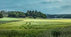 Tracks in the field (Thor Edvardsen) Tags: field straw grain track farm landscape nature barn norway norge ef24105mmf4lisusm canon canon5dsr