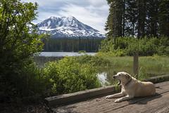 Not Impressed (TW Olympia) Tags: yellow labrador retriever adams takhlakh lake dog washington