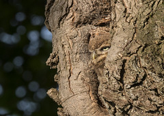 Perfect Camo (Little Owl Owlet) (Mick Erwin) Tags: little owl owlet camouflage nesting branching chick fledgling nikon afs 600mm f4e fl ed vr lens d850 mick erwin stoke trent staffordshire wildlife nature