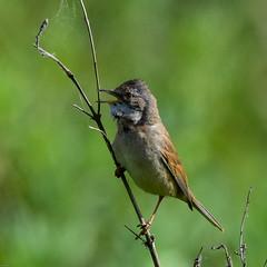 Whitethroat F00739 Burton Mere RSPB D210bob DSC_8311 (D210bob) Tags: whitethroat f00739 burtonmererspb d210bob dsc8311 nikond7200 birdphotography birdphotos naturephotography naturephotos nikon wildlifephotography nikon200500f56 cheshire rspb