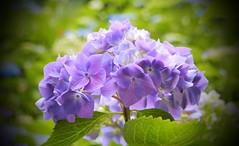 Zauber der Natur... (Zatato) Tags: hortensie garten park natur blume