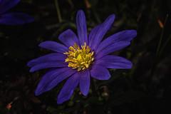 Blue (anderswetterstam) Tags: flowers nature seasons blue flower closeup petals blooming